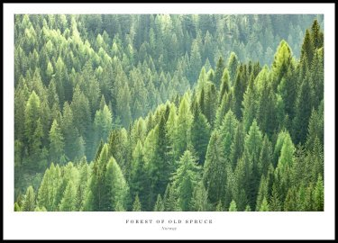 Plakat Forest of Old Spruce